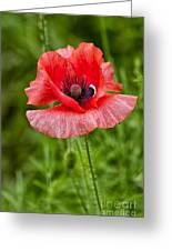 Pink Poppy Flower Among The Green Background Greeting Card