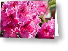 Rhododendron Called Azalea Bright Pink Flowers  Greeting Card