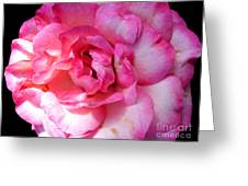 Rose With Touch Of Pink Greeting Card