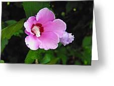 Pink Rose Of Sharon 2 Greeting Card