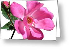 Pink Rose With Bud Greeting Card