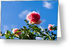 Pink Roses - Featured 3 Greeting Card