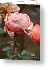 Pink Roses In The First Snow Greeting Card
