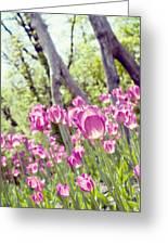 Pink Spring Tulips-light Greeting Card