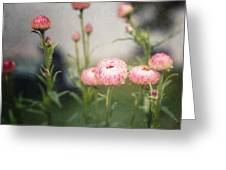 Pink Straw Flowers After A Light Rain Greeting Card