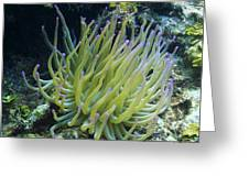 Pink Tipped Giant Sea Anemone Greeting Card