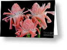 Pink Torch Ginger Trio On Black Greeting Card