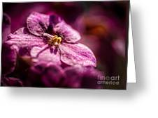 Pink Violet Glory Greeting Card