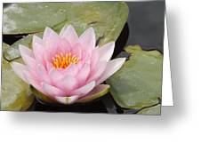 Pink Water Lily And Leaves Greeting Card