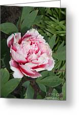 Pink-white Peony Greeting Card