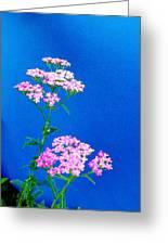 Pink Yarrow Greeting Card