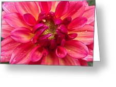 Pink Zinnia Flower Upclose Greeting Card