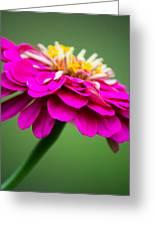 Pink Zinnia Greeting Card