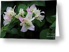 Pinky White Bougainvillea Greeting Card