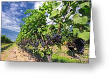 Pinot Noir Grapes In Niagara Greeting Card