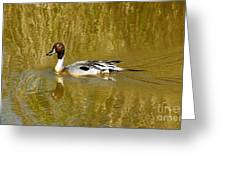 Pintail Duck Greeting Card