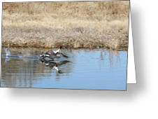Pintail Takeoff From Water Greeting Card