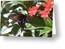 Pipevine Swallowtail IIi Greeting Card