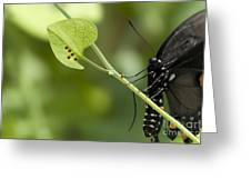 Pipevine Swallowtail Mother With Eggs Greeting Card