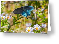 Pipevine Swallowtail On Asters Greeting Card