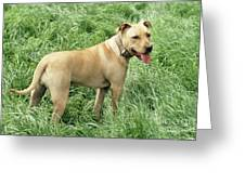 Pit Bull Terrier Dog Greeting Card