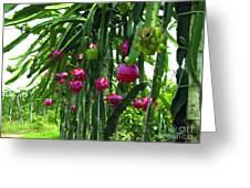 Pitaya Fruit Trees Greeting Card