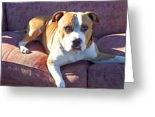 Pitbull On A Couch Greeting Card by Ritmo Boxer Designs