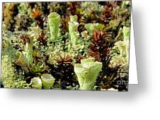 Pixie Cup Lichenscape Greeting Card