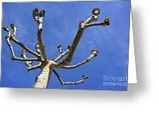 Plane Tree Greeting Card