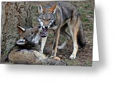 Playful Wolves Greeting Card
