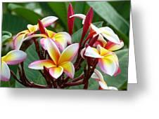 Plumaria  . . . . Greeting Card