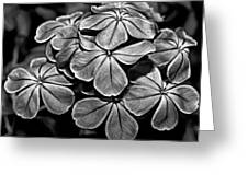Plumbago In Gray Greeting Card