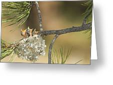 Plumbeous Vireo Begging Arizona Greeting Card by Tom Vezo