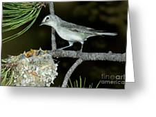 Plumbeous Vireo With Four Chicks In Nest Greeting Card
