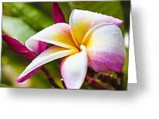 Plumeria 2 Greeting Card