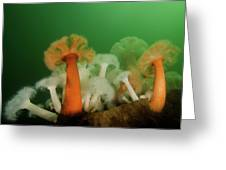 Plumose Anemone In Puget Sound Greeting Card