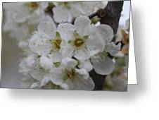 Plums In Bloom Greeting Card