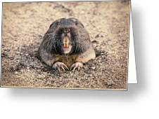 Pocket Gopher Chatting Greeting Card