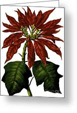 Poinsettia A Traditional Christmas Plant Vintage Poster Greeting Card