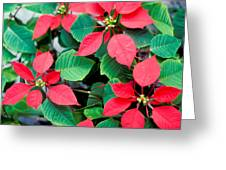 Poinsettia Flowers Greeting Card