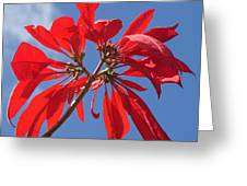 poinsettia from Madagascar Greeting Card
