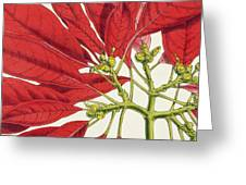 Poinsettia Pulcherrima Greeting Card
