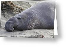 Point Piedras Blancas Elephant Seal 3 Greeting Card