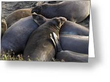 Point Piedras Blancas Elephant Seals 2 Greeting Card
