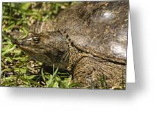 Pointed Nose Florida Softshell Turtle - Apalone Ferox Greeting Card
