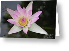 Pointed Pink Lily Greeting Card