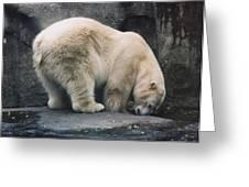 Polar Bear At Zoo Greeting Card