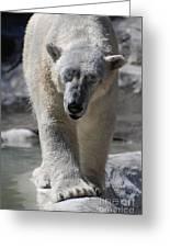 Polar Bear Greeting Card