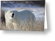 Polar Bear In The Sunshinechurchill Greeting Card