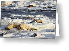 Polar Bear Mother And Cub Grooming Greeting Card